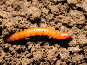 wireworm_lv_ms